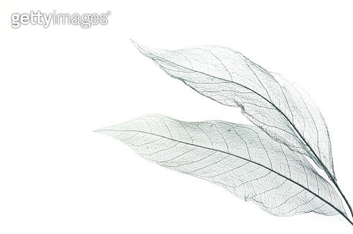 Leaf skeleton on a white table. - gettyimageskorea