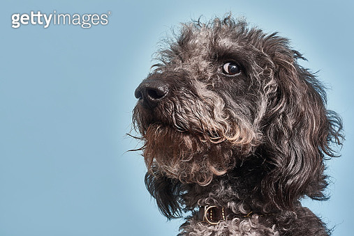 Portrait of Labradoodle with humorous expression - gettyimageskorea