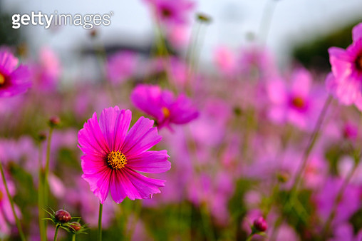 Close-Up Of Pink Cosmos Flowers Blooming Outdoors - gettyimageskorea