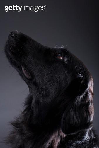 Portrait of black dog - gettyimageskorea
