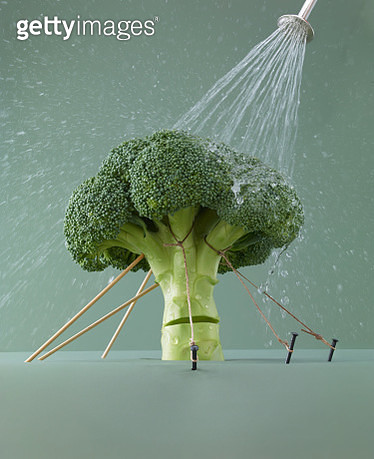 Broccoli stalk held up by ropes, sprayed with water to keep fresh - gettyimageskorea