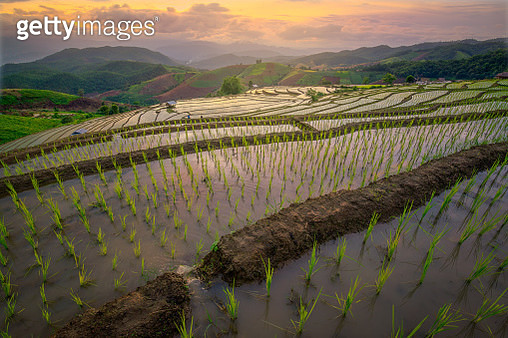 Tourists in golden rice fields in the countryside - gettyimageskorea