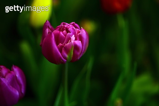 Close-Up Of Pink Tulip - gettyimageskorea