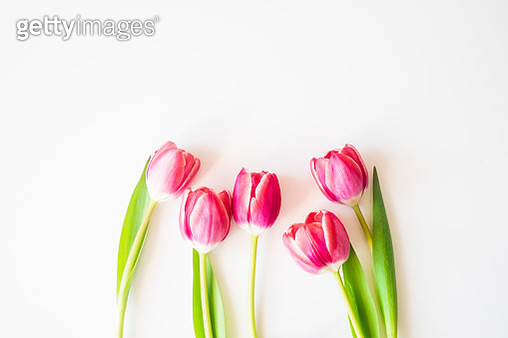 Fresh pink tulips isolated on white, high angle view. Image with copy space. - gettyimageskorea