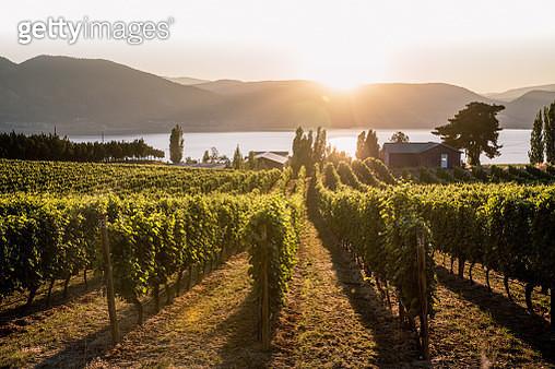 Okanagan Valley, vineyards at sunset before harvesting. British Columbia, Canada - gettyimageskorea