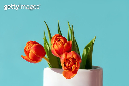 Red-orange scarlet tulip in a white vase on a turquoise background - gettyimageskorea