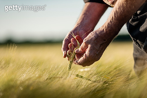 Close up of a farmer's hands as he checks the progress of the barley crop in the field. Photographed on a summer's evening on the island of Møn in Denmark. Colour, horizontal with some copy space. - gettyimageskorea