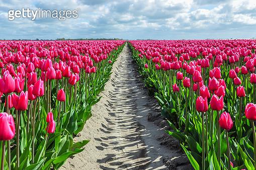 Vanishing tulips - gettyimageskorea