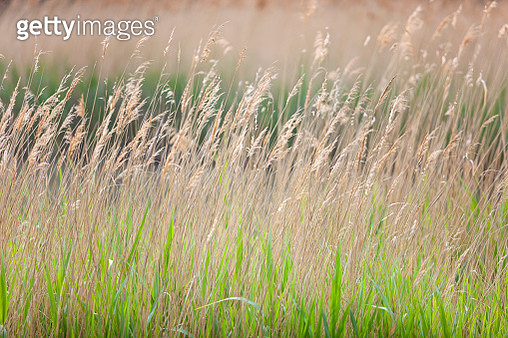 Lakeside reeds and grasses - gettyimageskorea