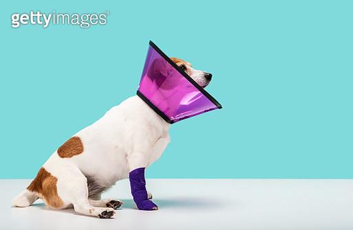 Dog wearing cone collar - gettyimageskorea