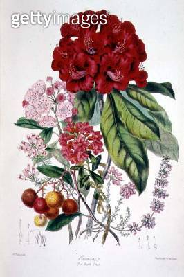 Ericaceae (the Heath Tribe) from `Illustrations of the Natural Orders of Plants' by Elizabeth Twining (1805-89) - gettyimageskorea