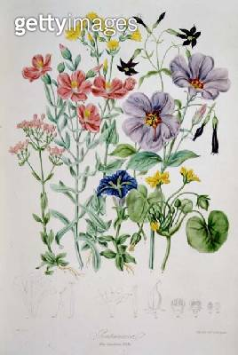 Gentianaceae (the Gentian Tribe) from 'Illustrations of the Natural Orders of Plants' by Elizabeth Twining (1805-89) - gettyimageskorea