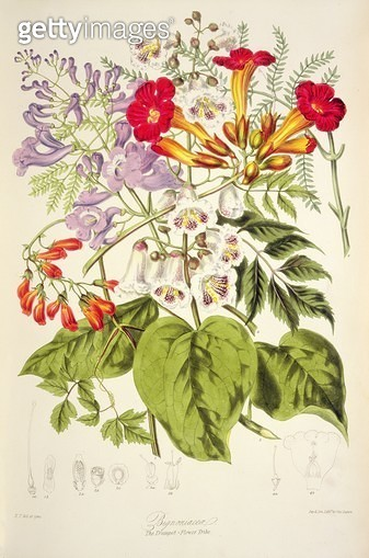 Trumpet Flower: Bignoniacea from `Illustrations of the Natural Orders of Plants' by Elizabeth Twining (1805-89) - gettyimageskorea