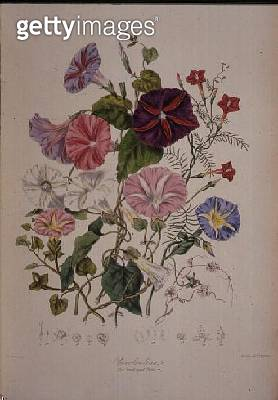 Convolvulaceae (the Bindweed Tribe) from `Illustrations of the Natural Orders of Plants' by Elizabeth Twining (1805-89) - gettyimageskorea