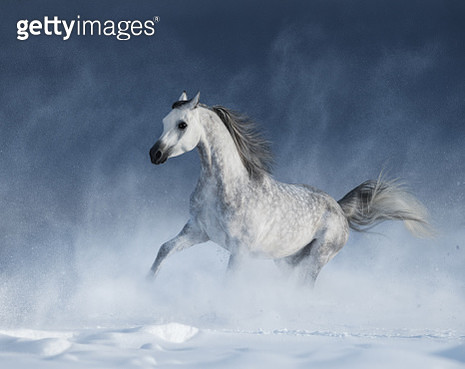 Arabian horse galloping during a blizzard - gettyimageskorea
