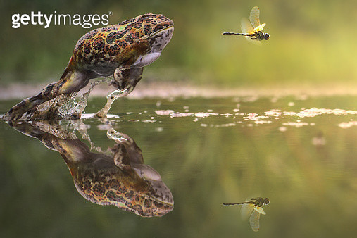 Indonesia, Frog chasing damselfly - gettyimageskorea