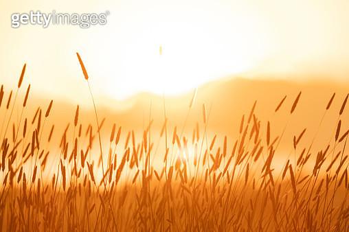 bright sunlight over wheat field - gettyimageskorea