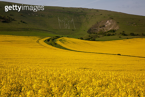 Rape seed field with Long Man of Wilmington in the disatnce - gettyimageskorea