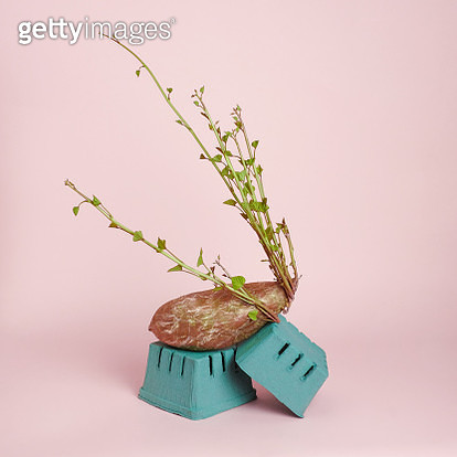 A sprouting sweet potato wrapped in plastic on a pink background. Food waste concept. - gettyimageskorea