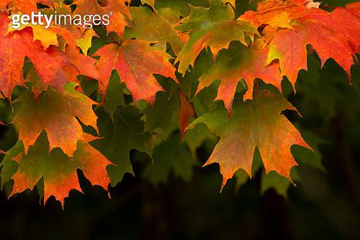 Sugar Maples Leaves Draped - gettyimageskorea