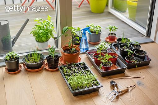 Indoor Garden - planting seeds and gardening in an apartment during lockdown - gettyimageskorea