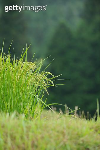 Ears Of Rice - gettyimageskorea