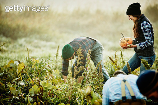 Smiling female farmer harvesting organic squash in field on fall morning with coworkers - gettyimageskorea
