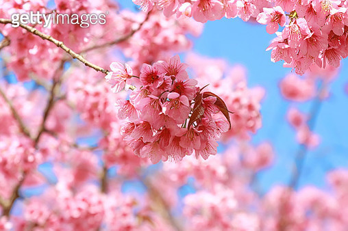 Close-Up Of Pink Cherry Blossom - gettyimageskorea