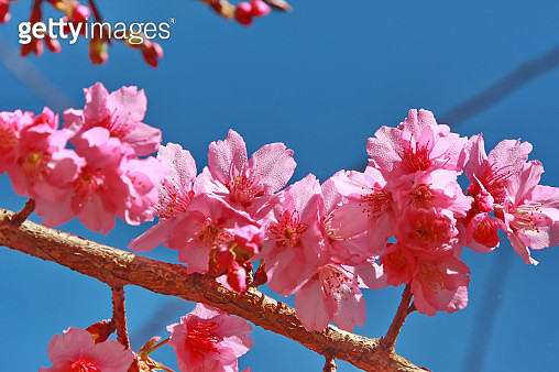 Low Angle View Of Pink Cherry Blossoms Against Sky - gettyimageskorea