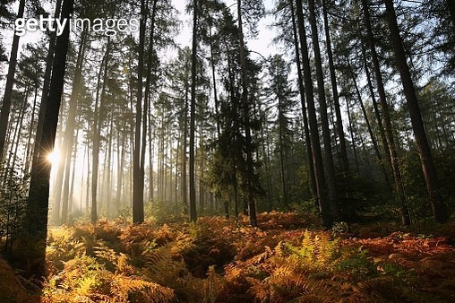 Coniferous Forest On An Autumn Morning - gettyimageskorea
