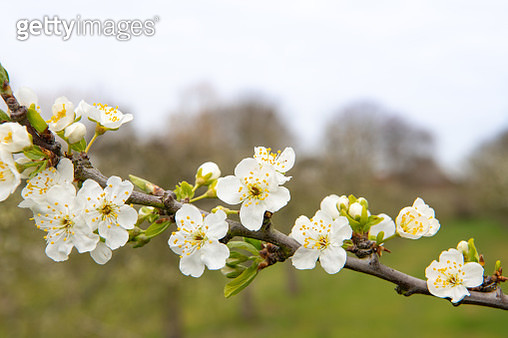 Orchard with close up of blossom, Jefferson's Gage. Norfolk. UK - gettyimageskorea