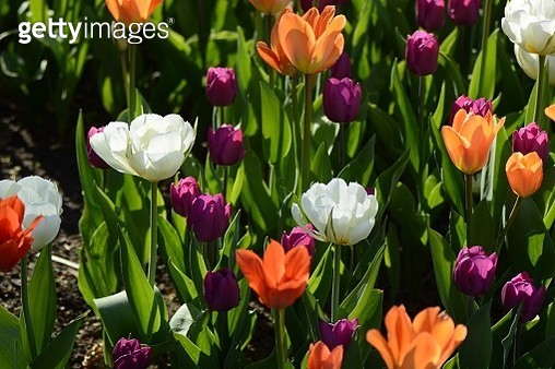 Close-Up Of Tulips In Field - gettyimageskorea