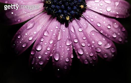 Purple flower, macro - gettyimageskorea