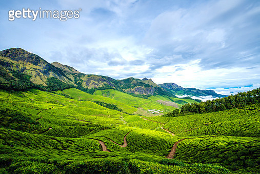 Beautiful tea farm in the morning sunrise in india - gettyimageskorea
