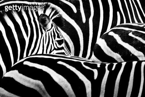 Zebra's eye - gettyimageskorea