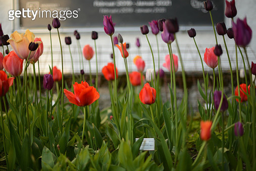 red and dark purple tulips - gettyimageskorea