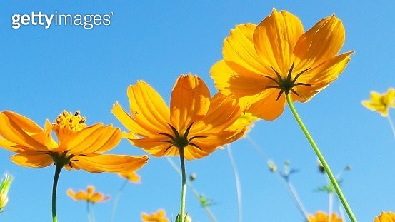 Low Angle View Of Cosmos Flowers Against Clear Blue Sky - gettyimageskorea