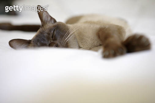 Burmese cat stretched out asleep on duvet (focus on cat) - gettyimageskorea