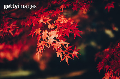 Red Japanese maple leaves in natural park - gettyimageskorea
