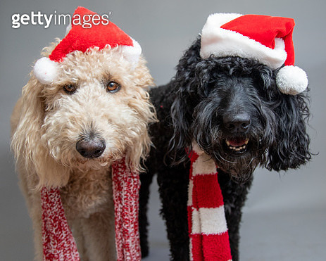 Two labradoodles standing side by side wearing Santa hats - gettyimageskorea