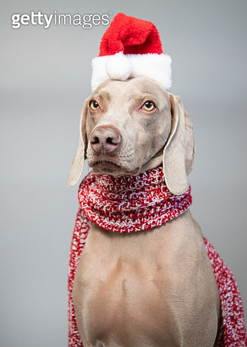 Portrait of a weimaraner wearing a Santa hat - gettyimageskorea