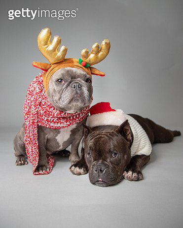 Two French bulldogs dressed in a Santa hat and antlers - gettyimageskorea