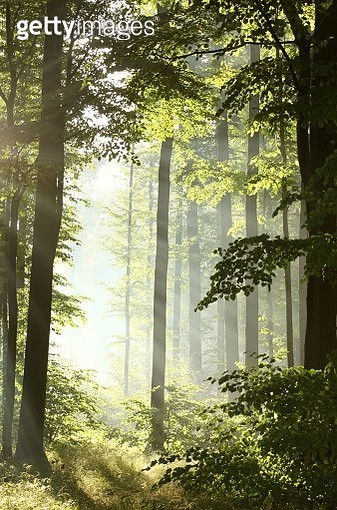 Misty Deciduous Forest At Dawn - gettyimageskorea