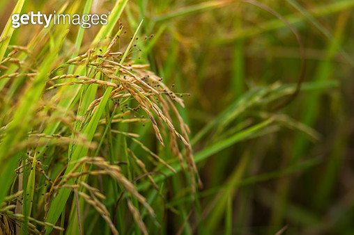 Close-Up Of Crops Growing On Field - gettyimageskorea