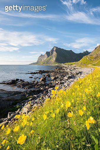 Flowers in Lofoten Islands, Norway, Europe - gettyimageskorea