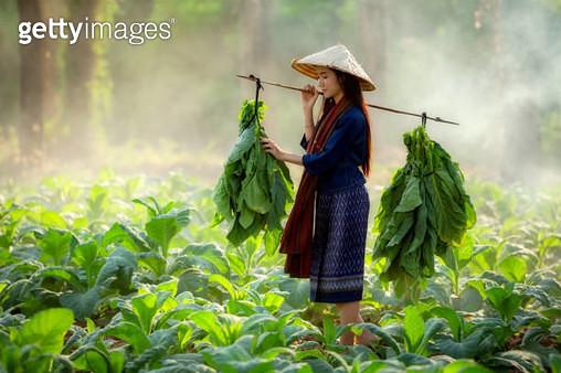 Organic Farm women are carrying tobacco leaf - gettyimageskorea