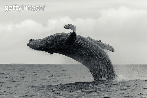 Humpback whale breaching against a cloudy sky along the Atlantic coast of South Africa, just south of Langebaan. - gettyimageskorea