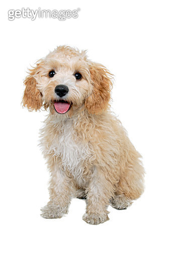Cavalier King Charles spaniel/Poodle mix puppy looking at the camera sitting in front of a white backdrop - gettyimageskorea