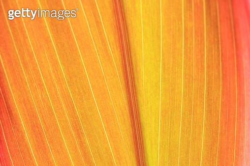 Vibrant backlit leaf in autumn colors full frame - gettyimageskorea