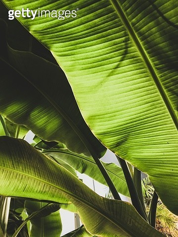 Banana palm leaves - gettyimageskorea